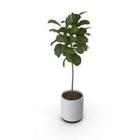 Plant Ficus Lyrata PNG & PSD Images