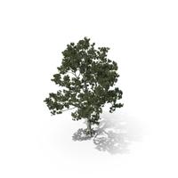 Pine Tree Pinus Bungeana PNG & PSD Images