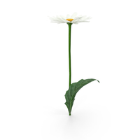 Chamomile Flower PNG & PSD Images