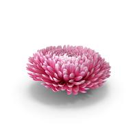 Chrysanthemum Flower PNG & PSD Images