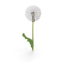 Dandelion Flower PNG & PSD Images