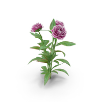Peonies Flowers PNG & PSD Images