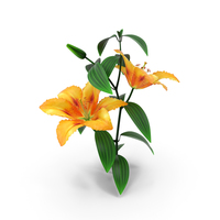 Lily Flower PNG & PSD Images
