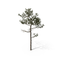 Pine Tree Pinus Elliottii PNG & PSD Images