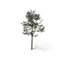 Pine_Tree Pinus Elliottii PNG & PSD Images