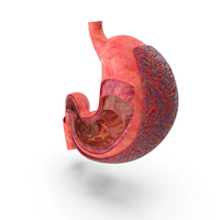 Stomach Anatomy Cancer Infected PNG & PSD Images