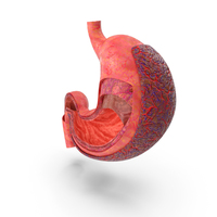 Stomach Human Anatomy PNG & PSD Images