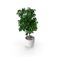 Ficus Benjamina Weeping Fig in Pot PNG & PSD Images