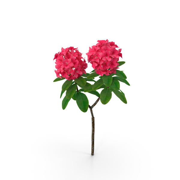 Red Rhododendron Flower PNG & PSD Images
