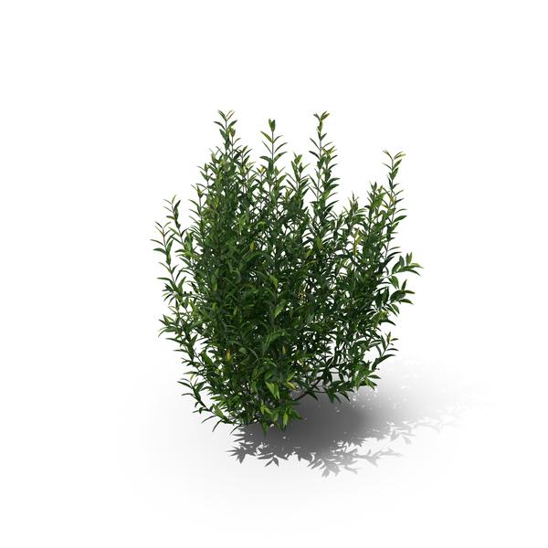 Plant Ligustrum Vulgare PNG & PSD Images