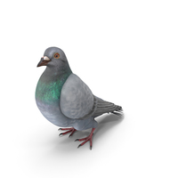 Pigeon Folded Wings PNG & PSD Images