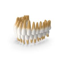 Teeths Medical Model PNG & PSD Images