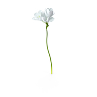 White Freesia Flower PNG & PSD Images