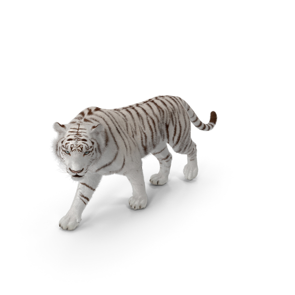 White Tiger Walkig Pose with Fur PNG & PSD Images
