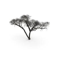 Winter Acacia Tree PNG & PSD Images
