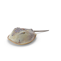 Horseshoe Crab PNG & PSD Images