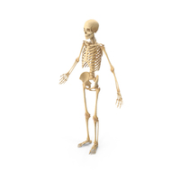 Realistic Human Skeleton PNG & PSD Images