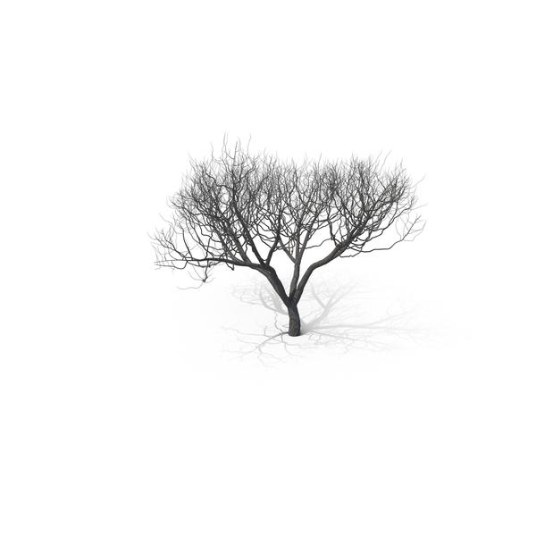 Tree: Acacia PNG & PSD Images