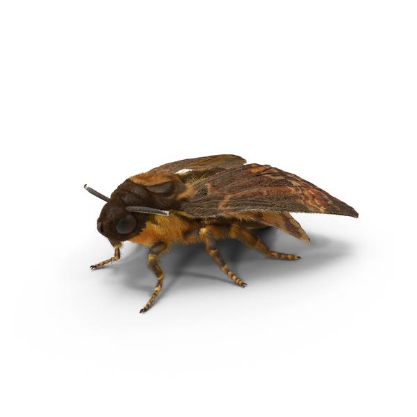 Acherontia Atropos Moth PNG & PSD Images