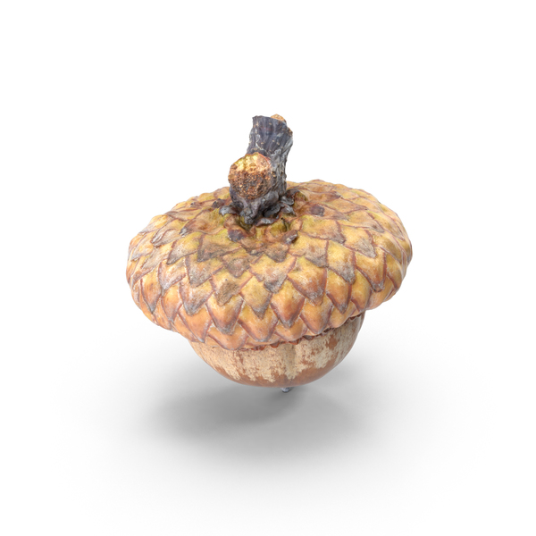 Acorn Straight PNG & PSD Images