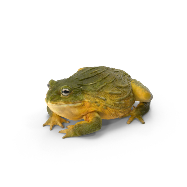 African Bullfrog PNG & PSD Images