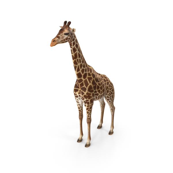 African Giraffe PNG & PSD Images