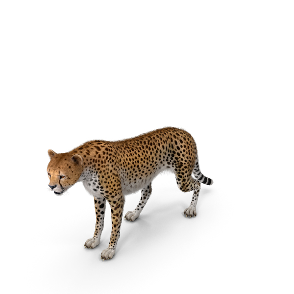 African Large Cat Cheetah Standing Pose with Fur PNG & PSD Images