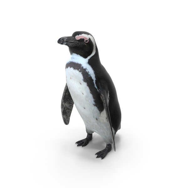African Penguin PNG & PSD Images