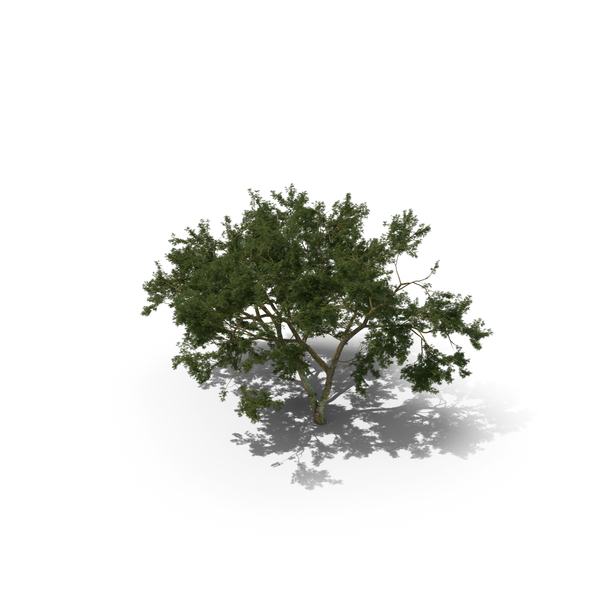 Deciduous: African Tree PNG & PSD Images