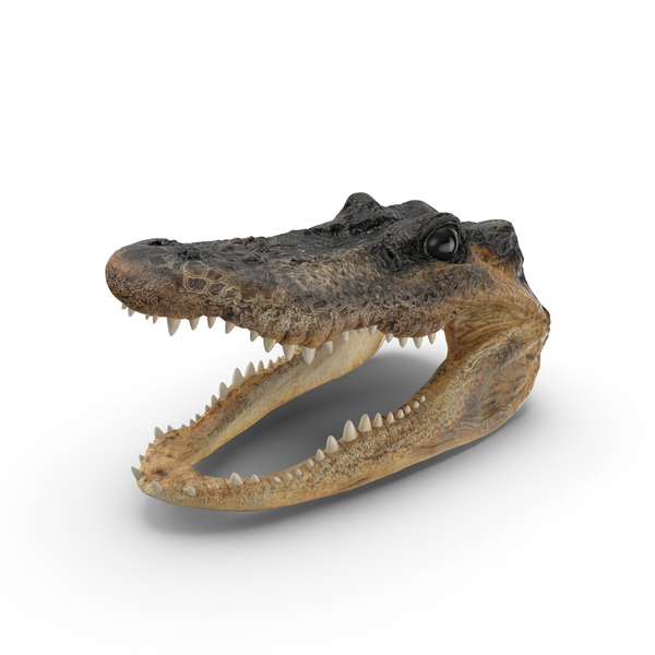 Alligator Head PNG & PSD Images