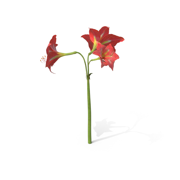 Amaryllis Red PNG & PSD Images