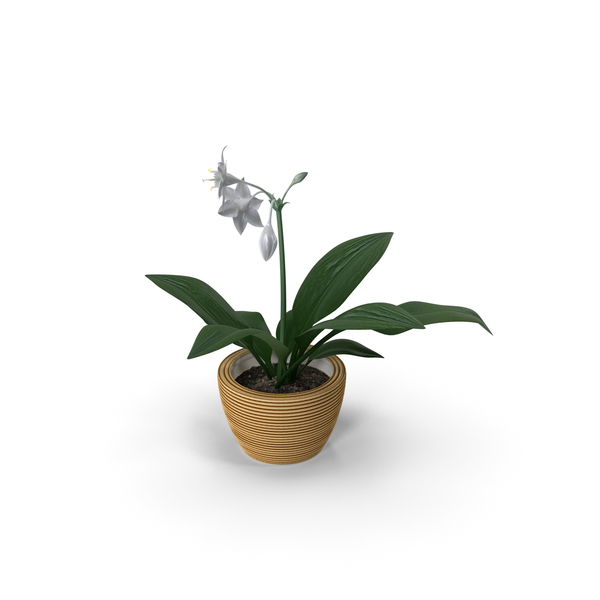 Amazon Lily PNG & PSD Images