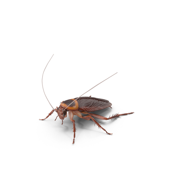 American Cockroach PNG & PSD Images
