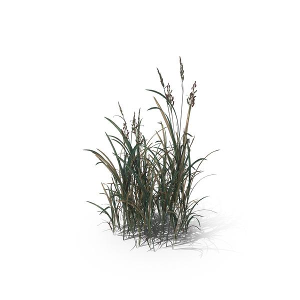 American Sloughgrass (Beckmannia Hirsutiflora) PNG & PSD Images