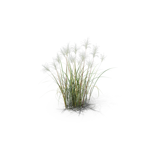 Amur Silver-Grass PNG & PSD Images