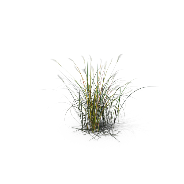 Grasses: Amur Silver-Grass PNG & PSD Images