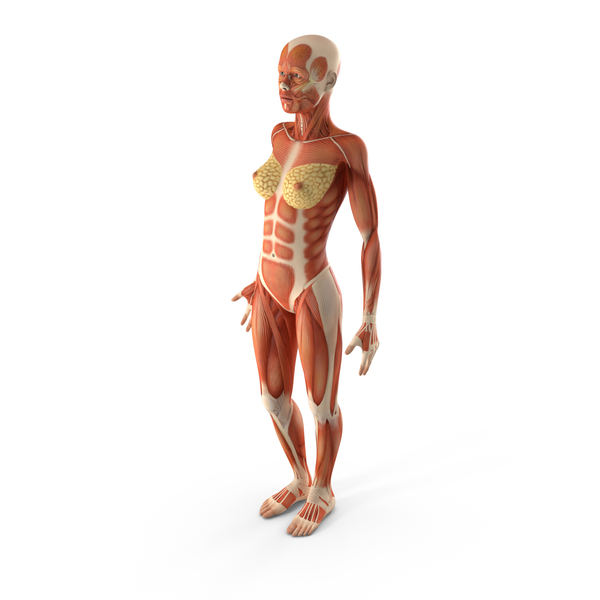Anatomy Female Muscular System PNG & PSD Images