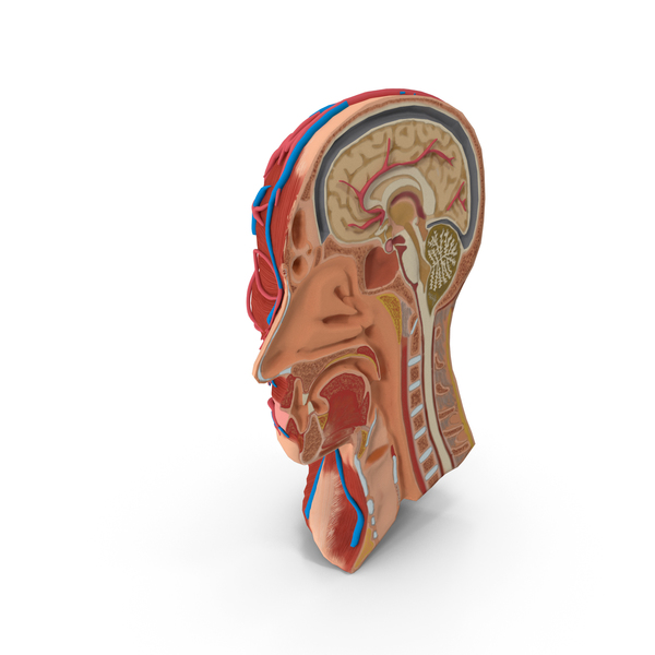 Anatomy Head Cutaway PNG & PSD Images