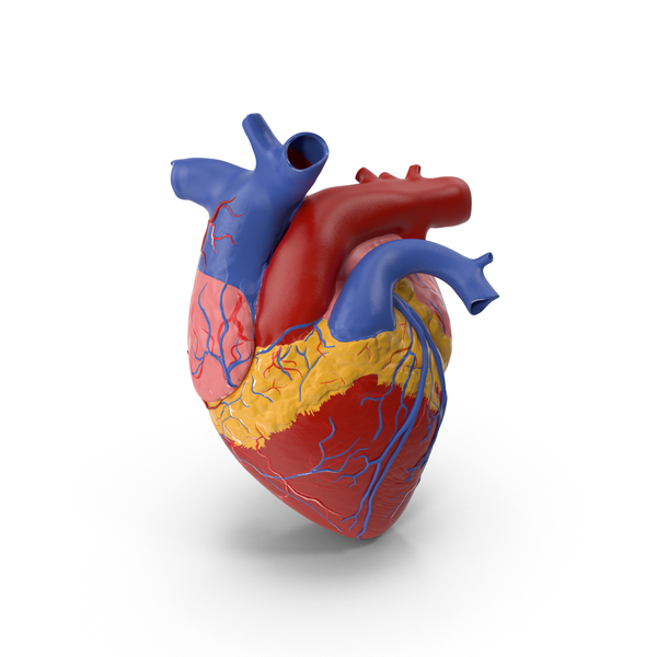 Human: Anatomy Heart Medical Plastic Model PNG & PSD Images