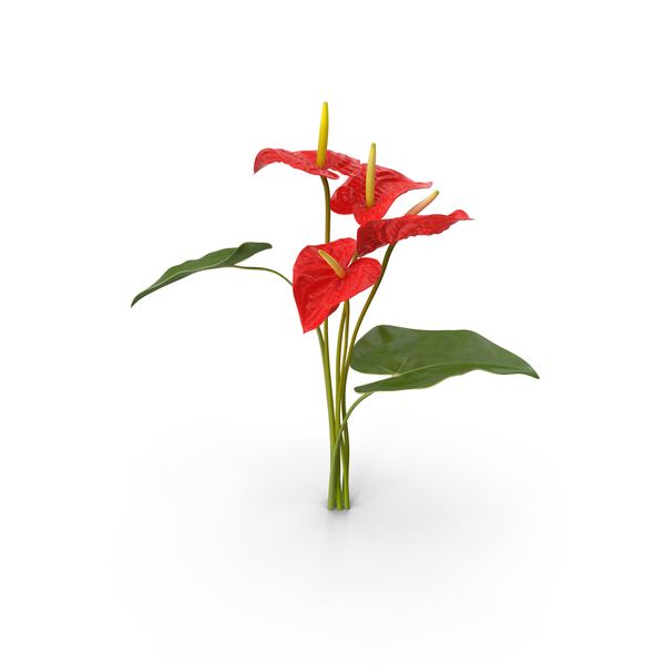 Anthurium Bouquet PNG & PSD Images