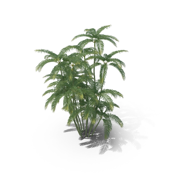 Tree: Areca Palm Medium PNG & PSD Images
