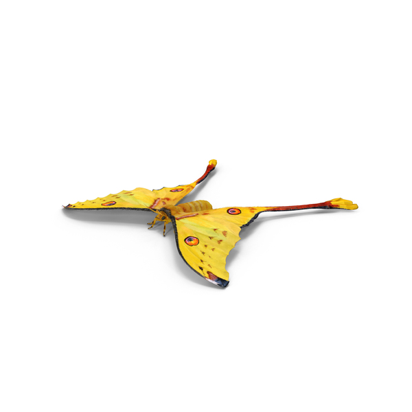 Moth: Argema Mittrei Object