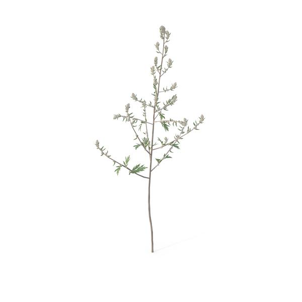 Artemisia Vulgaris PNG & PSD Images
