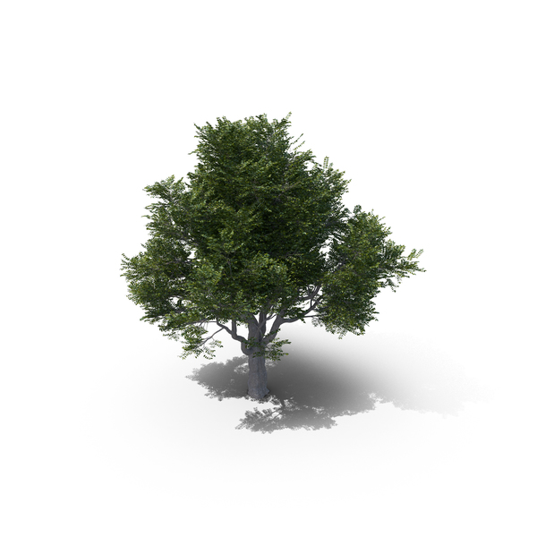 Ash Tree PNG & PSD Images