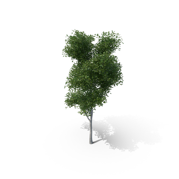 Aspen Tree PNG & PSD Images