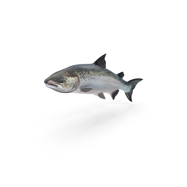Atlantic Salmon PNG & PSD Images
