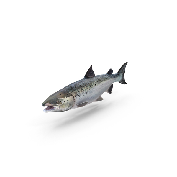 Atlantic Salmon Fish Object