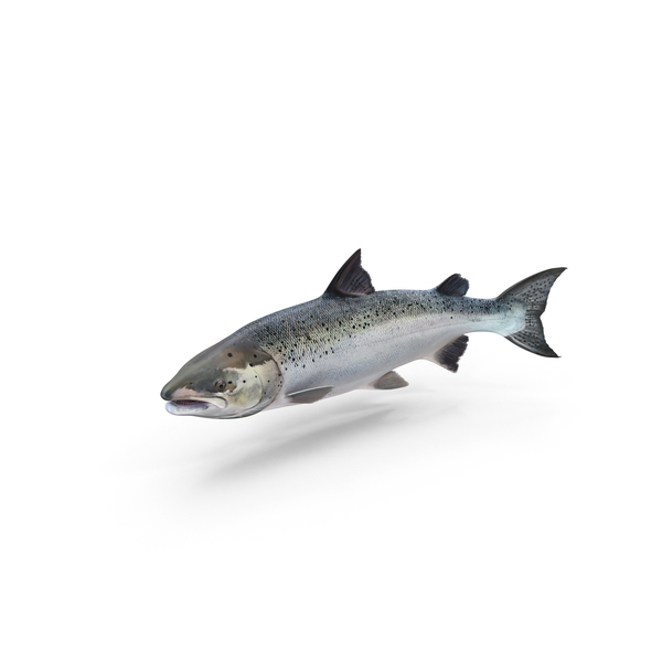 Atlantic Salmon Fish PNG & PSD Images