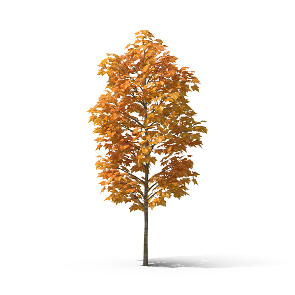 Autumn Sycamore Tree PNG & PSD Images