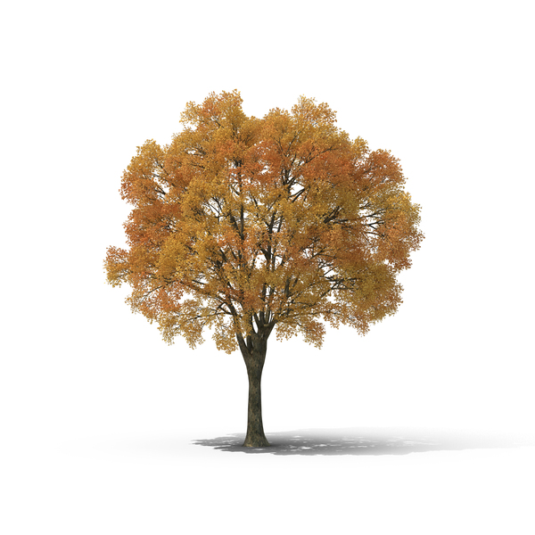 Evergreen: Autumn Tree PNG & PSD Images